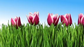 The grass and tulips Stock Photo