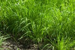 Grass tussocks at tillage. Close-up of tussocks over tillage at farmland Stock Photos