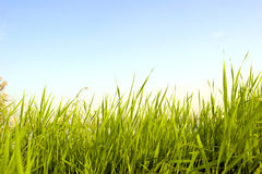 Grass under  blue sky Royalty Free Stock Photography