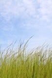 Grass under blue sky. Long grass under blue sky Royalty Free Stock Photo
