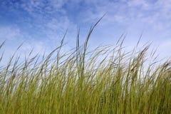 Grass under blue sky. Long grass under blue sky Royalty Free Stock Photos