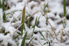 Grass under a first snow Stock Images
