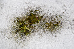 The grass under the snow. The beginning of spring royalty free stock image