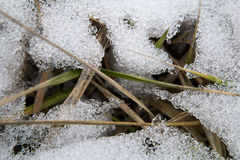 The grass under the snow. The beginning of spring royalty free stock photo