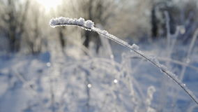 Grass under snow. Winter landscape, grass blade under snow, in sunny winter day stock footage
