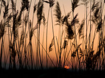 Grass under sunset. Eastphoto, tukuchina, Grass under sunset, Plant, capture shot Stock Photos