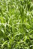 Grass unschooled. Grass green natural view closely Stock Image