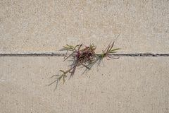 Grass/vegetation growing between two concrete pavement slabs. royalty free stock photos