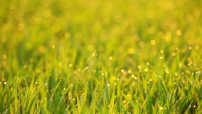 Grass Video Background. Seamless Loop Stock Image