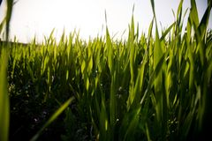 Grass View. A close up on grass from a very low angle soaking up the sun Royalty Free Stock Photo