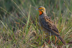 Grass walking. Cape Longclaw foraging in veldt Stock Images