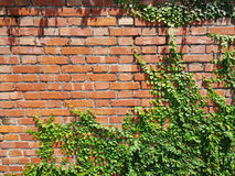 Grass on wall. Grass on brick wall. GRASS wall background Stock Images