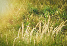 Grass with warm sunlight Royalty Free Stock Photo