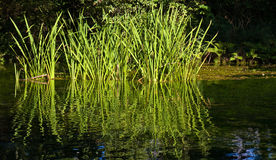 Grass in Water. Blades of tall grass reflected in water Stock Photo