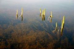 Grass in the water Royalty Free Stock Photography
