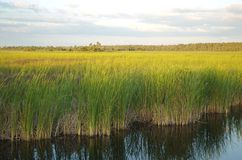 Grass and water. Everglades swamp in florida usa Stock Images