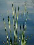Grass in the water. Grass growing in the water by a river bank Stock Photography