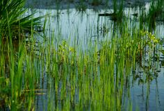 Grass in Water. Swampy wetlands where grass grows in water Royalty Free Stock Photography