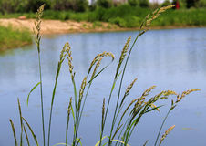 Grass in water Stock Photography