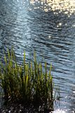 The grass in the water. Stock Photo