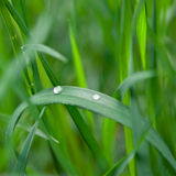 Grass with water drop Stock Image