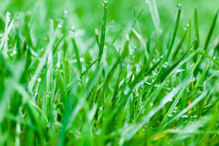Grass water drop. If a warm, clear day is followed by a cool, clear evening, dew will likely form. On a normal warm day, water evaporates from the warm ground Royalty Free Stock Photos