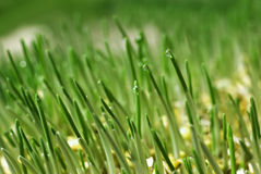 Grass water drops Royalty Free Stock Photography