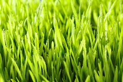 Grass with water drops Royalty Free Stock Image