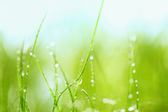 Grass with water drops Royalty Free Stock Images