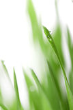 Grass with water drops Stock Photo