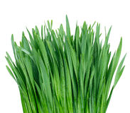 Grass with water drops Royalty Free Stock Photo
