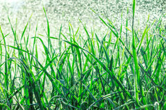 Grass with water drops in the early morning Stock Photo