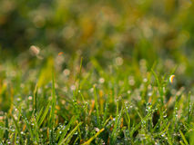 Grass with water drops Stock Photography
