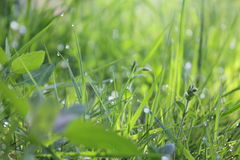 Grass with water drops. Macro of grass spikes with water drops Stock Image