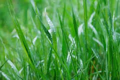 Grass with water drops on the surface Royalty Free Stock Photos