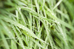 Grass with water drops / used soft focus lens Stock Photos