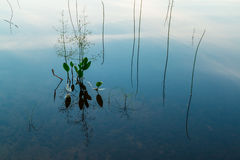 Grass in water. Grass growing out of the lake and its reflection in water Stock Photos