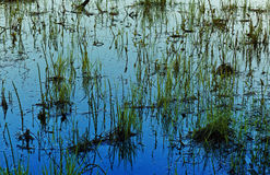 Grass in water late evening Stock Photo