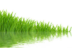 Grass with water reflections, isolated Royalty Free Stock Image