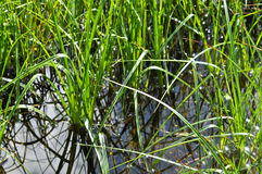 The grass in the water. Royalty Free Stock Images