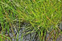 The grass in the water. Stock Image