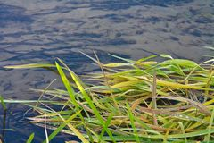 Grass on water surface Stock Photo