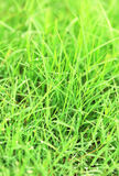 Grass with waterdrops Royalty Free Stock Photo