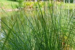 Grass at waterside of the pond Stock Image
