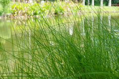 Grass at waterside of the pond Royalty Free Stock Photography