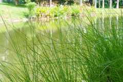 Grass at waterside of the pond Royalty Free Stock Images