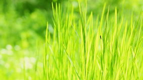 Grass waving on wind, backlit stock footage