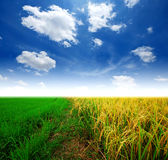 Grass way yellow field. And blue sky background in Thailand rainbow Stock Photos