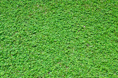 Grass weed. Green grass weed for background Royalty Free Stock Image