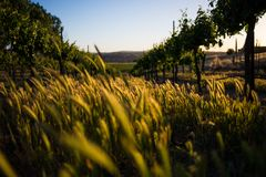 Grass, weeds, and grapevines Royalty Free Stock Photos